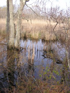 Cattail Marsh from the bird blind