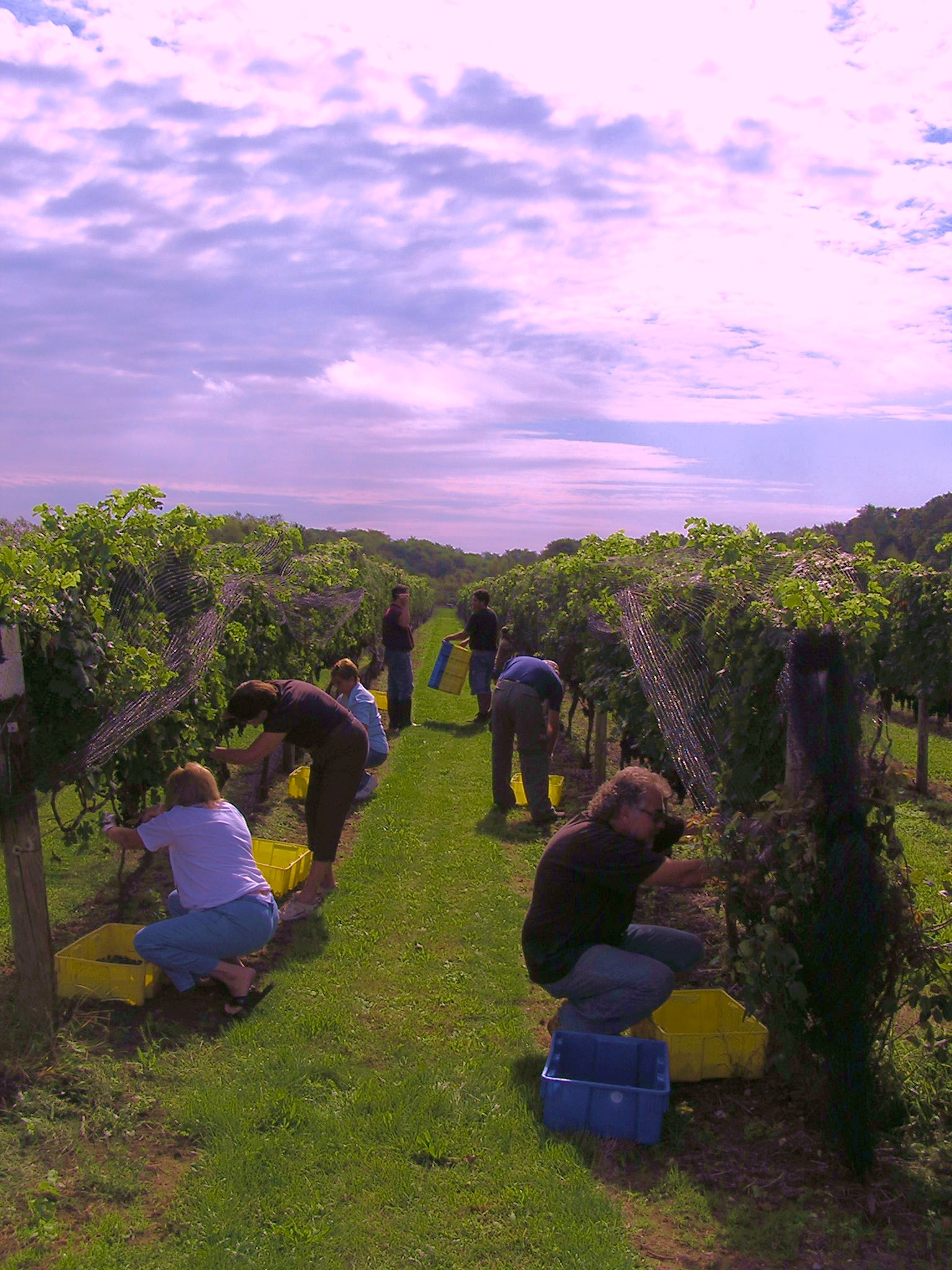 harvesting the north fork - new york  long island u0026 39 s wine country