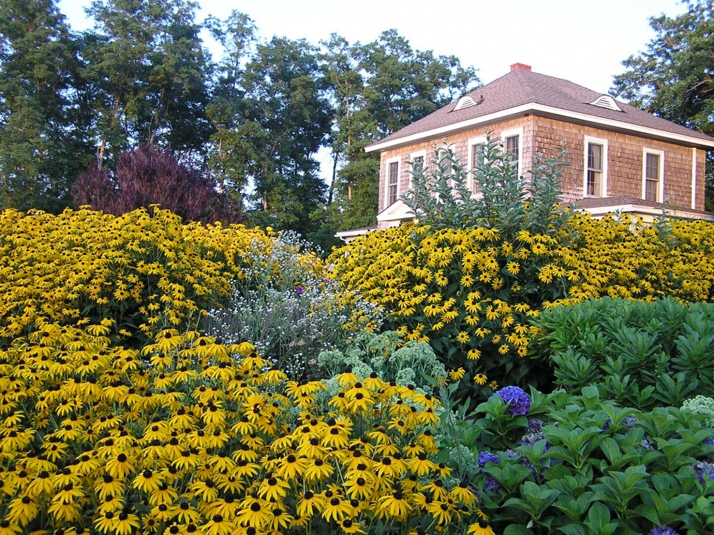 Shorecrest Bed and Breakfast surrounded by a sea of Black Eyed Susans in August